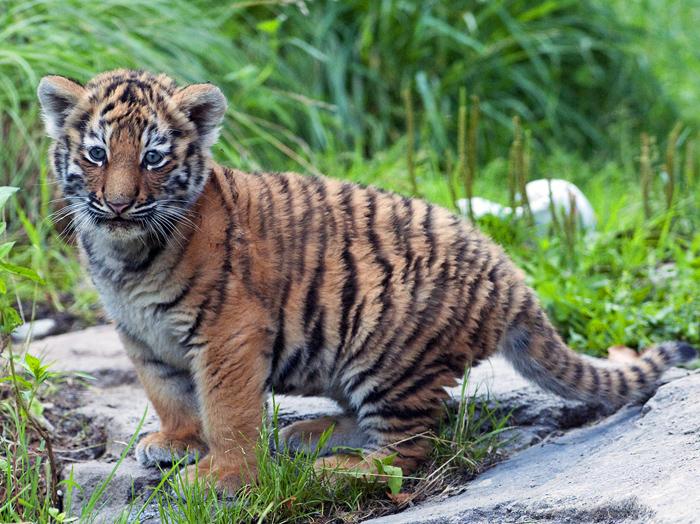 Junge Tigerbabys – Nachwuchs im Zoo Zürich   Reisen Blog Cute Siberian Tiger Cubs